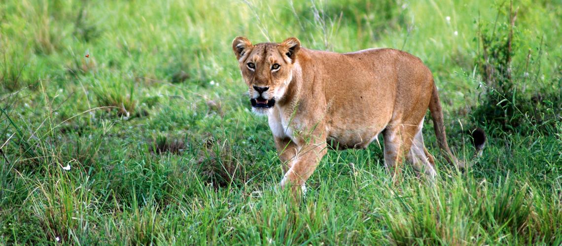 LandYachting Fernreise Wohnmobil Südafrika Löwin